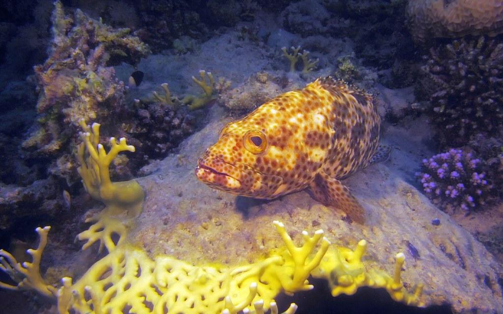 سمك الهامور